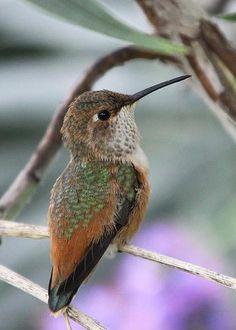 Hummingbird by Diana Haronis