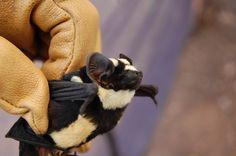 Striped bat