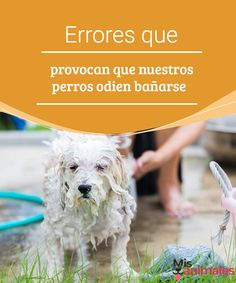Errores que provocan que nuestros perros odien bañarse  ¿Algunas vez has pensado que para los perros es una tortura bañarse?, lejos de ser algo completamente cierto,el rechazo que ellos desarrollan. #baño #hora #odiar #consejos