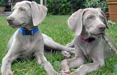 Weimaraner: For a hundred years, they have been bred as both a companion dog and a hunting dog, and they have an incredible level of energy. They will only do well with an active owner. They will need to run every day. They enjoy nearly any rambunctious activity, including running beside your bike, jogging with you, hiking with you, swimming, retrieving, and agility. They love to learn new skills. As of yet, no one has reported finding something a Weimaraner can't do.