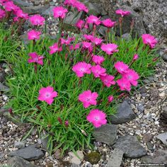 Dianthus Kahori is one of the first Dianthus to flower in Spring and will keep flowering if trimmed back early enough to encourage new blooms.