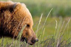 Grizzly Bear, Katmai National Park, USA