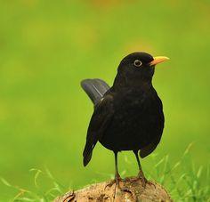 Black Animals, Animals And Pets, Cute Animals, Exotic Birds, Colorful Birds, British Wildlife, Humming Bird Feeders, Bird Drawings, Bird Pictures