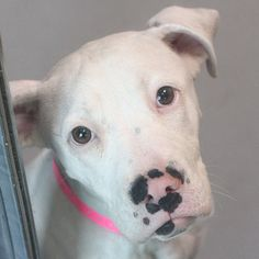 *TINY-ID#A728093  Shelter staff named me TINY.  I am a spayed female, white and black Pit Bull Terrier mix.  The shelter staff think I am about 6 months old.  I have been at the shelter since Jul 13, 2013.