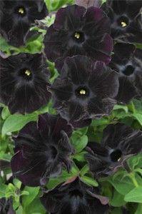 petunia.black.velvet