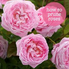 Pruning rose bushes doesn't have to be difficult or intimidating. Rose bushes need to be pruned in a special way, so make pruning more efficient with these tested tips.