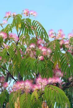 Albizia julibrissin (Perzische slaapboom, Zijdeboom) - in pot Exotic Plants, Exotic Flowers, Albizia Julibrissin, Silk Tree, Tree Artwork, Pink Garden, Garden Borders, Yard Design, Botany