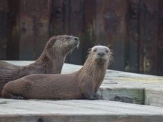 Otters at Cowichan Bay - from the Images of Victoria Collection