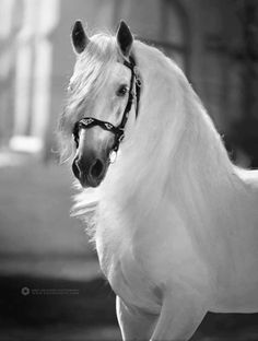 How to Travel the World on Horseback - and Get Paid for it! Most Beautiful Horses, All The Pretty Horses, Animals Beautiful, Andalusian Horse, Friesian Horse, Arabian Horses, Cute Horses, Horse Love, Horse Photos