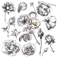 Illustration about Flower set: highly detailed hand drawn roses. Illustration of elegant, floral, decoration - 23044428 Clip Art Vintage, Et Tattoo, Illustration Blume, Illustration Flower, Botanical Illustration Black And White, Tattoo Illustration, Nature Illustration, Drawing Hands, Plant Drawing