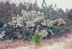 Groundsel Bush (Baccharis halimifolia) Zones 6 - 10 Salt tolerant