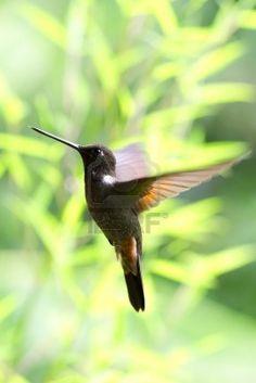 Very small hummingbird ,collared inca, in flight. Shot in Ecuadorian rainforest. Stock Photo
