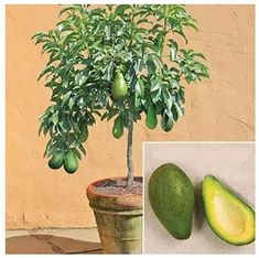 How to Grow Your Own Avocado Tree ~ Think before throwing away that avocado seed! If you want to have your own avocado tree, you can plant it Herb Garden, Garden Plants, Indoor Plants, Garden Kids, Fruit Garden, Garden Pool, Garden Landscaping, Growing Plants, Growing Vegetables