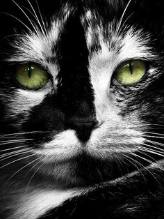 The Oldest Living Domestic Cat In The World's Black and white cat face with green eyes Cute Cats And Kittens, Cool Cats, Kittens Cutest, Pretty Cats, Beautiful Cats, Animals Beautiful, Chat Bizarre, Regard Animal, Animals And Pets