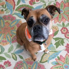 Don't you just love this handsome #boxer on our Sarasa Coral #rug!? #DogsofPinterest #Dogs #PetsofPinterest