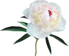 Large Transparent White Peony Clipart