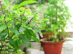 Grow Holy Basil (Tulsi) Learn how to grow tulsi plant, its care and growing requirements are simple and easy.Learn how to grow tulsi plant, its care and growing requirements are simple and easy. Thulasi Plant, Plant Care, Plant Growth, Types Of Basil, Types Of Herbs, Herbal Plants, Medicinal Plants, Herbal Tea, Gardens