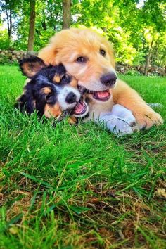 When this Golden puppy shared his favorite stick with the new kid in town. Cute Puppies, Cute Dogs, Dogs And Puppies, Doggies, Fluffy Puppies, Baby Animals, Cute Animals, Animal Fun, Golden Puppy