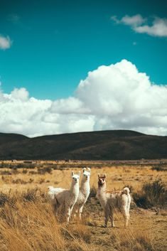 Alpacas, Nature Animals, Farm Animals, Cute Animals, Beautiful Creatures, Animals Beautiful, Llama Pictures, Cute Alpaca, Animal Design