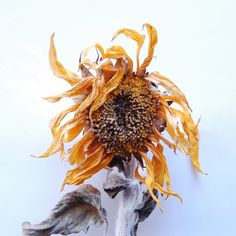 © pachadesign.   sunflower from our garden - http://pachadesignjournal.blogspot.com/search/label/pachadesign%20garden