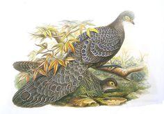 Grey Peacock-pheasant (Polyplectron bicalcaratum) - Wiki #bird #pheasant