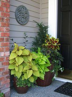 Container garden: Yew, coleus, begonia, sweet potato vine, bacopa and camellia