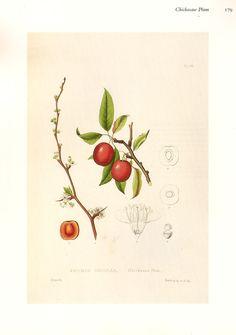 Chicksaw Plum botanical image from BrigidsFancy