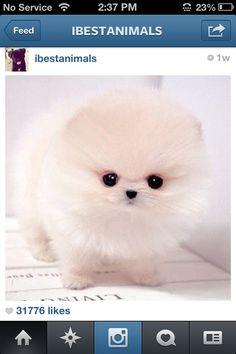So cute teacup Pomeranian!