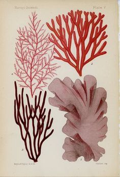 1895 I Antique Botanical Chromolithograph Print I Pink Seaweed Gravure Illustration, Illustration Art, Botanical Drawings, Botanical Prints, Coral Drawing, Drawing Drawing, Historia Natural, Graffiti, Motif Floral