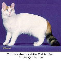 Turkish Van Cat   Cute Cats and Kittens   Cats, Turkish ...