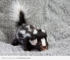 I've always wanted a baby skunk, but this just makes me want one that much more..