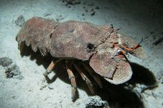 This is a Slipper Lobster, its body is split up into 14 different segments.