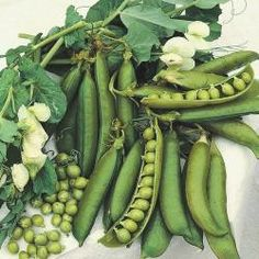 Doperwten-Stam 'Hurst Green Shaft'