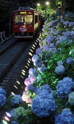 アジサイ、浮かんだ 神奈川・箱根登山鉄道 産経新聞