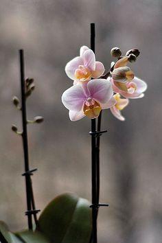mini-Orchid Phalaenopsis (indoor plants)