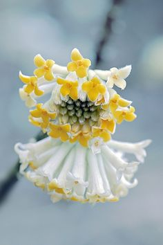 Edgeworthia chrysantha (Paper bush) .. This small shrub from China is noteworthy for its spherical clusters of very fragrant yellow flowers that bloom in winter and early spring.