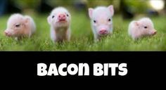 funny pictures of the day pics) Bacon Bits Funny Animals, Cute Animals, Farm Animals, Wild Animals, Bacon Funny, This Little Piggy, Bacon Bits, Bacon Bacon, Image Of The Day