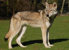 tamaskan wolf dog | Meet the Tamaskan Dog. NOT to be confused with a Wolf, this FULLY ...