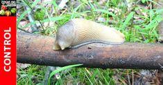 eliminar babosas Garden Pests, Snail, Fish, Nature, Internet, Animals, Cactus, Patio, Aloe Vera