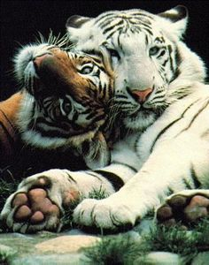 This is a great picture of two tigers. Do you think they might be in love?