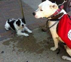 Bovine with a friend from @Pit Bulls for PTSD #pitbull #pitbulls #ptsd