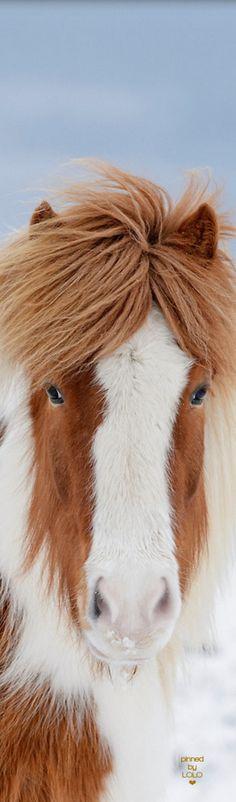 Icelandic Horse   LOLO❤︎