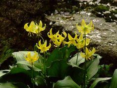 黄色のカタクリ。昭和記念公園。
