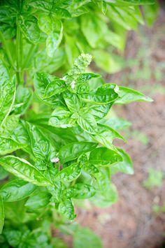 Tips for Growing Fresh Basil