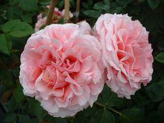 (klim)roos 'Aloha' (1949) - AGM 2002. Helderroze, dikgevulde  bloemen (10-12cm). De achterkant van de bloemblaadjes is donkerder dan de voorkant. Zeer geurig. Verdraagt wat schaduw.  Kan op armere grond en dus geschikt als muurplant. Zeer  gezond blad. Als struik 150cm x 180cm, als klimmer 300cm.