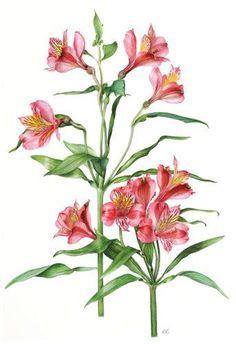 Alstroemeria © Roger Reynolds SBA | Botanical Art | Pinterest
