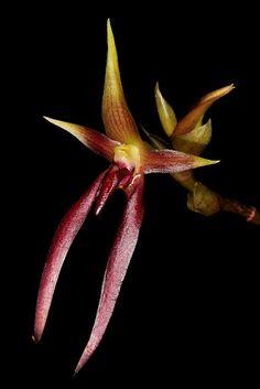 Bulb. basisetum (sect: Lepidorhiza)