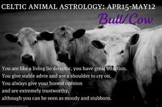 Celtic Animal Astrology - Bull/Cow - April 15 to May 12 Celtic Astrology, Astrology Zodiac, Zodiac Signs, Animal Spirit Guides, Spirit Animal, Celtic Animals, Celtic Druids, Bull Cow, Celtic Tree