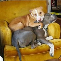 It's Stella and Nick, except Stella is getting crushed.  Pibbles#Best Friend - Pretty much how my dogs sleep!