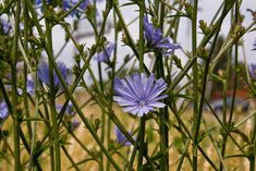 Chicory plant is an herbaceous biennial. The plant can be found growing wild in many areas of the U.S. Chicory herb plants are easy to grow in the garden, and this article will help.